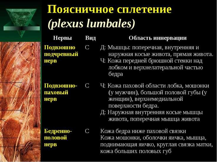 Поясничное сплетение (plexus lumbales)