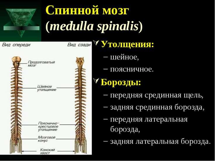 Спинной мозг (medulla spinalis) Утолщения: шейное, поясничное. Борозды: перед...