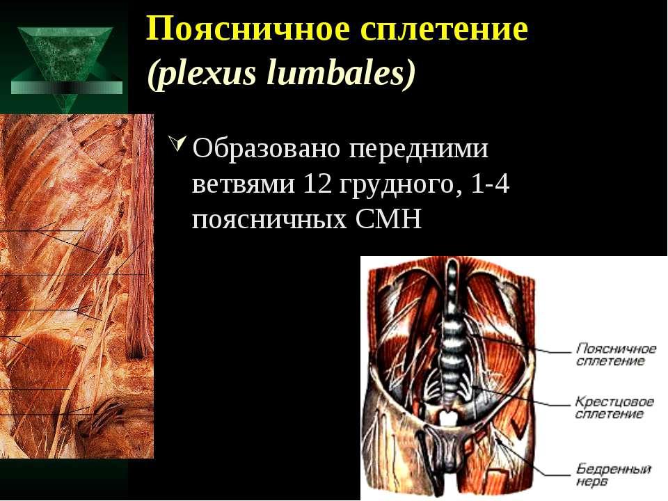 Поясничное сплетение (plexus lumbales) Образовано передними ветвями 12 грудно...