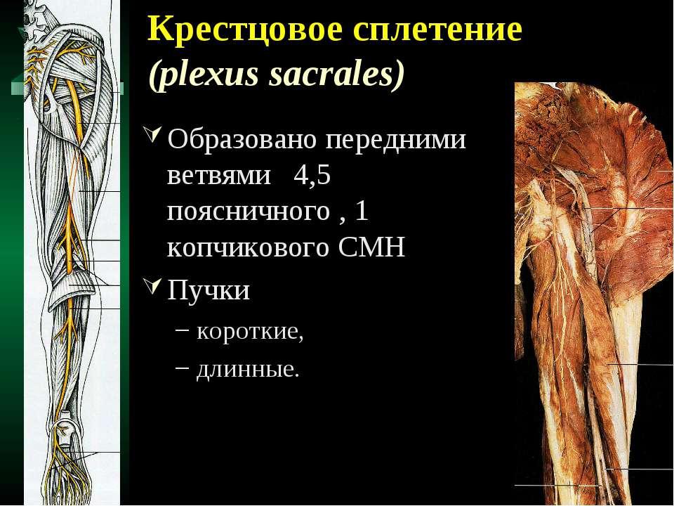 Крестцовое сплетение (plexus sacrales) Образовано передними ветвями 4,5 поясн...