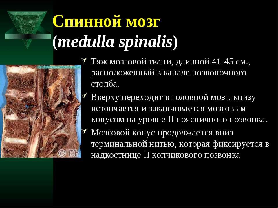 Спинной мозг (medulla spinalis) Тяж мозговой ткани, длинной 41-45 см., распол...