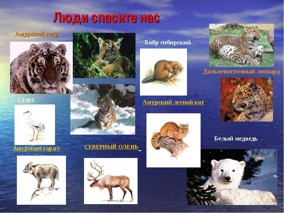 Люди спасите нас Амурский тигр Дальневосточный леопард Белый медведь Бобр сиб...