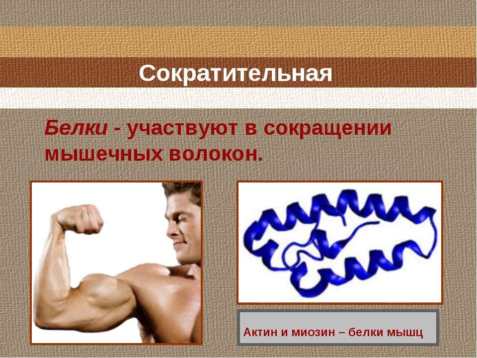 Сократительная Белки - участвуют в сокращении мышечных волокон. Актин и миози...