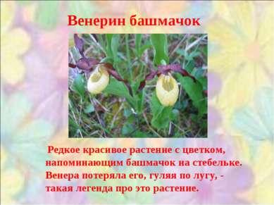 Венерин башмачок Редкое красивое растение с цветком, напоминающим башмачок на...