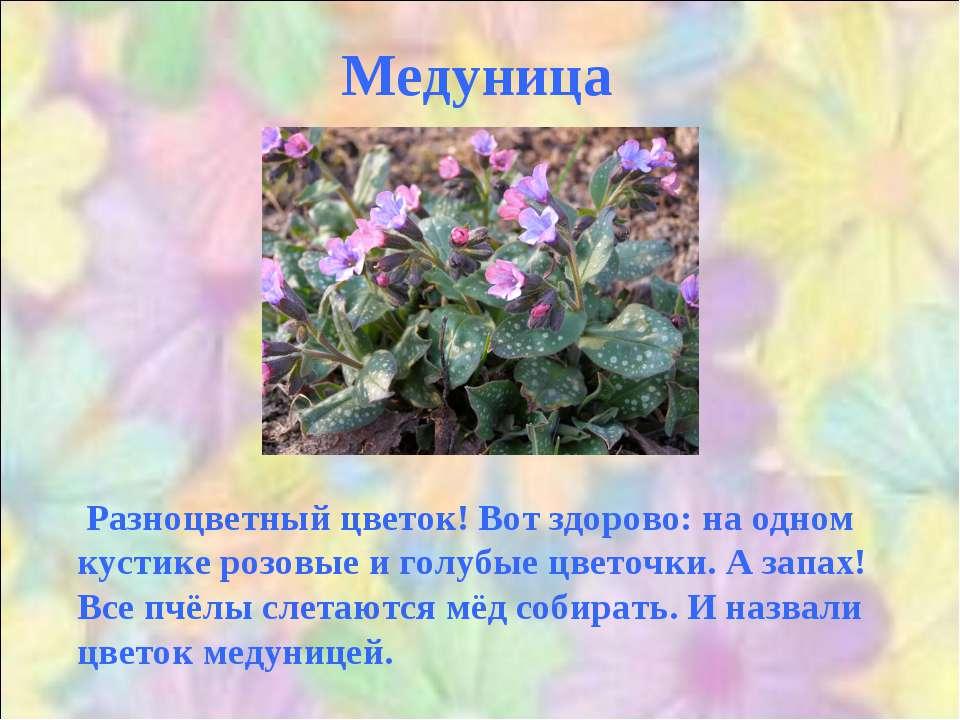 Медуница Разноцветный цветок! Вот здорово: на одном кустике розовые и голубые...