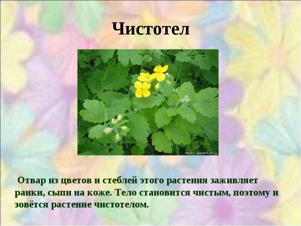 Чистотел Отвар из цветов и стеблей этого растения заживляет ранки, сыпи на ко...