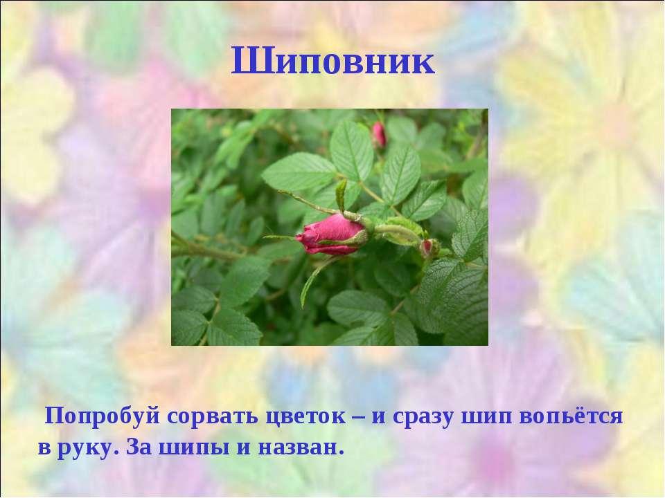 Шиповник Попробуй сорвать цветок – и сразу шип вопьётся в руку. За шипы и наз...