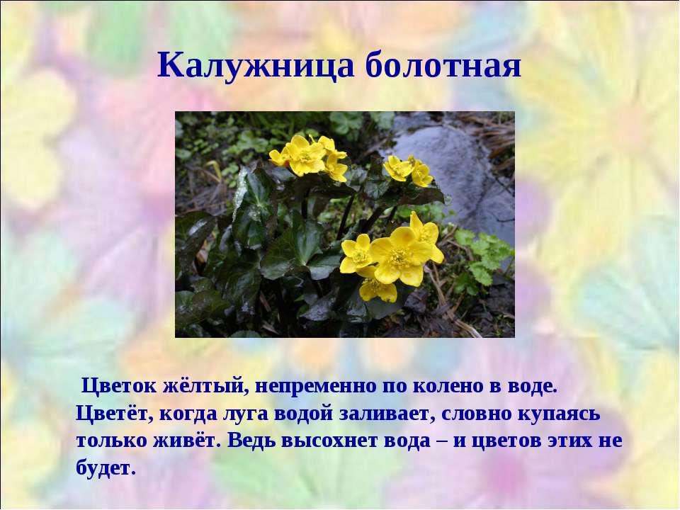 Калужница болотная Цветок жёлтый, непременно по колено в воде. Цветёт, когда ...