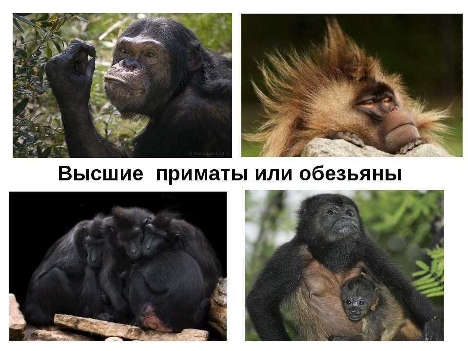 Высшие приматы или обезьяны