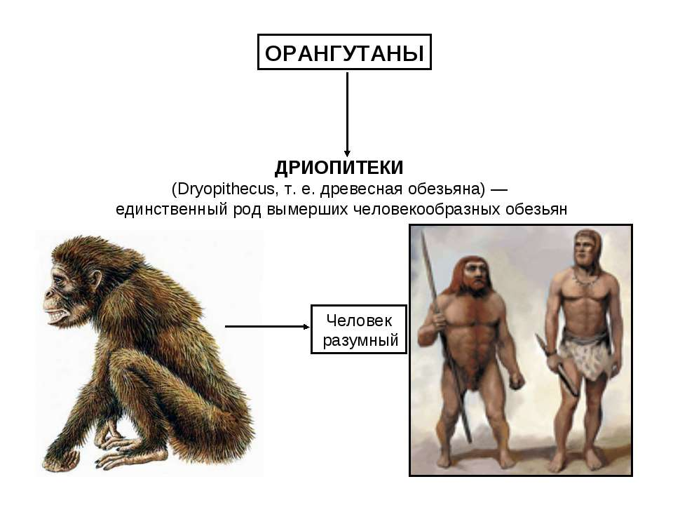 ДРИОПИТЕКИ (Dryopithecus, т. е. древесная обезьяна) — единственный род вымерш...