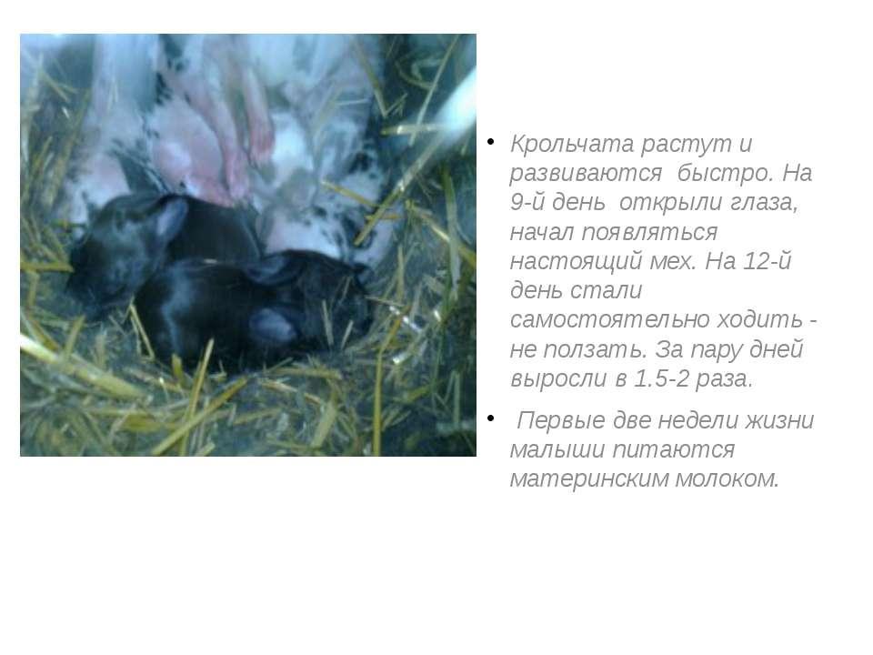 Крольчата растут и развиваются быстро. На 9-й день открыли глаза, начал появл...