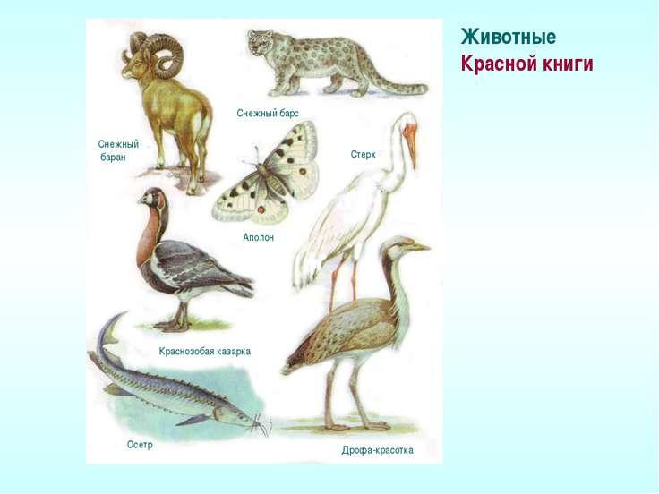 Животные Красной книги Снежный баран Снежный барс Аполон Краснозобая казарка ...