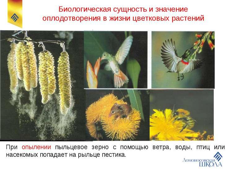 При опылении пыльцевое зерно с помощью ветра, воды, птиц или насекомых попада...