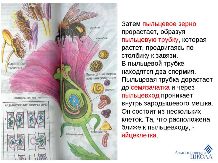 Затем пыльцевое зерно прорастает, образуя пыльцевую трубку, которая растет, п...