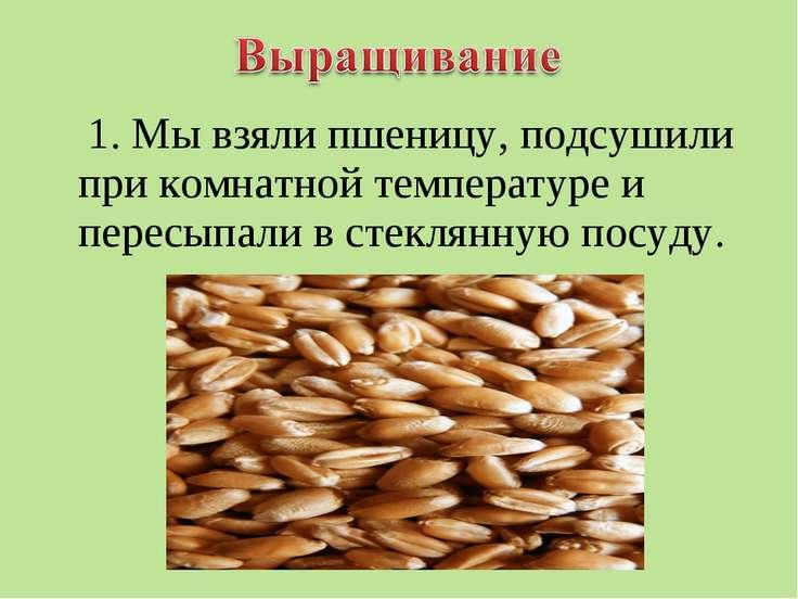 1. Мы взяли пшеницу, подсушили при комнатной температуре и пересыпали в стекл...