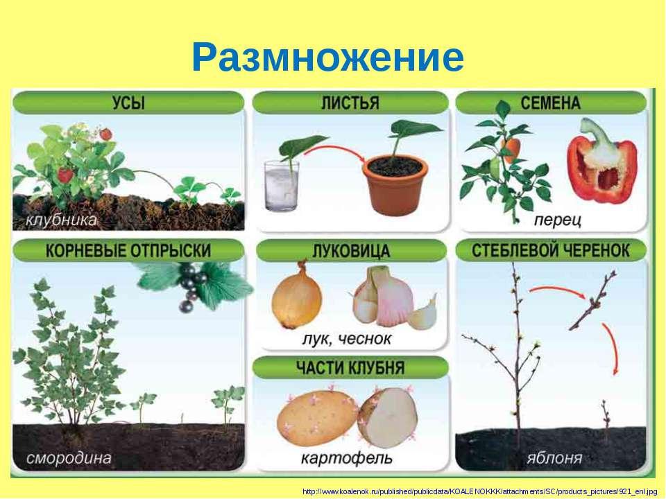 Размножение http://www.koalenok.ru/published/publicdata/KOALENOKKK/attachment...