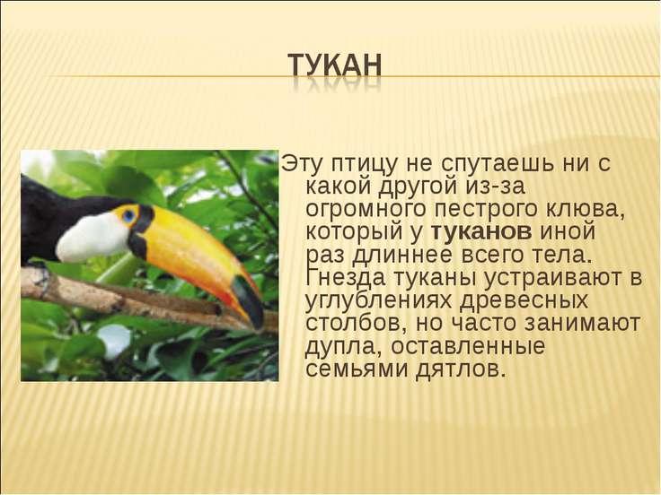 Эту птицу не спутаешь ни с какой другой из-за огромного пестрого клюва, котор...