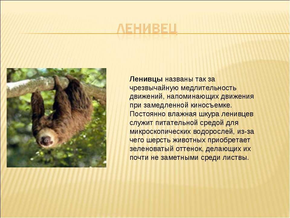 Ленивцы названы так за чрезвычайную медлительность движений, напоминающих дви...