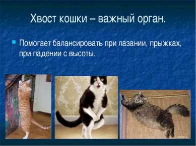 Хвост кошки – важный орган. Помогает балансировать при лазании, прыжках, при ...