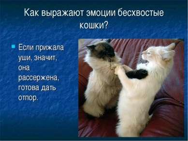 Как выражают эмоции бесхвостые кошки? Если прижала уши, значит, она рассержен...