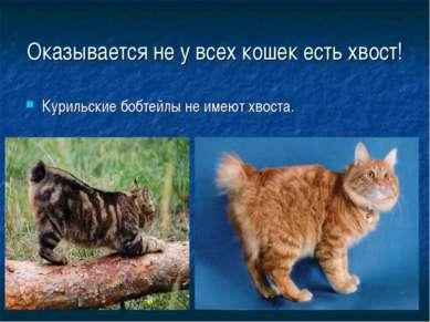 Оказывается не у всех кошек есть хвост! Курильские бобтейлы не имеют хвоста.