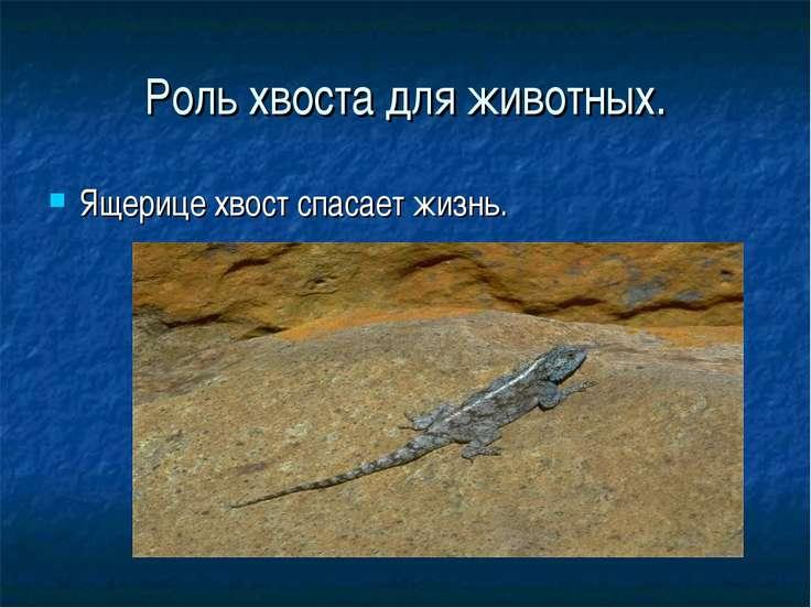 Роль хвоста для животных. Ящерице хвост спасает жизнь.