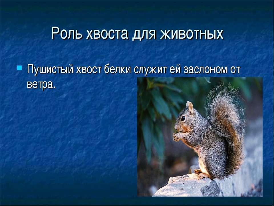 Роль хвоста для животных Пушистый хвост белки служит ей заслоном от ветра.