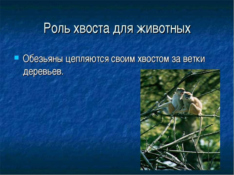 Роль хвоста для животных Обезьяны цепляются своим хвостом за ветки деревьев.
