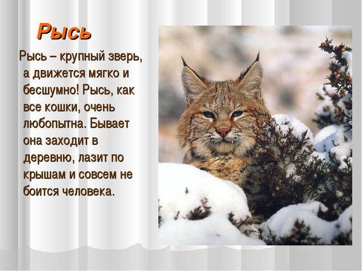 Рысь Рысь – крупный зверь, а движется мягко и бесшумно! Рысь, как все кошки, ...