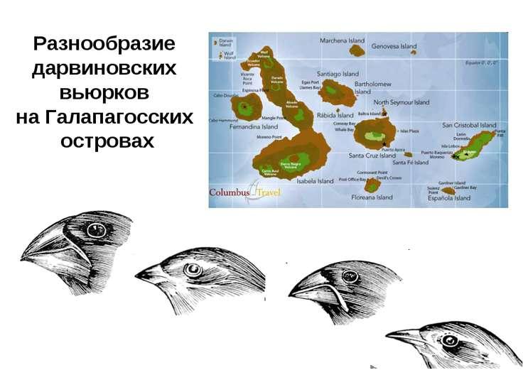 Разнообразие дарвиновских вьюрков на Галапагосских островах