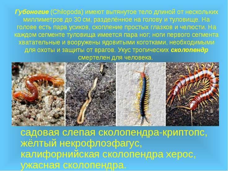 Губоногие (Chilopoda) имеют вытянутое тело длиной от нескольких миллиметров д...