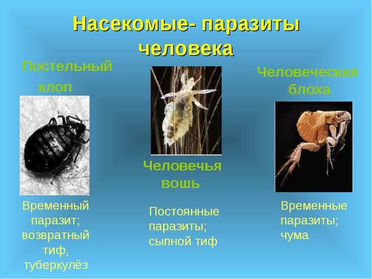 Насекомые- паразиты человека Постельный клоп Человечья вошь Человеческая блох...