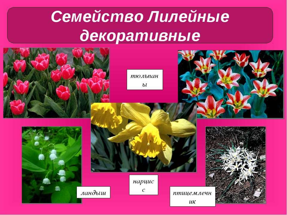 тюльпаны ландыш птицемлечник нарцисс Семейство Лилейные декоративные