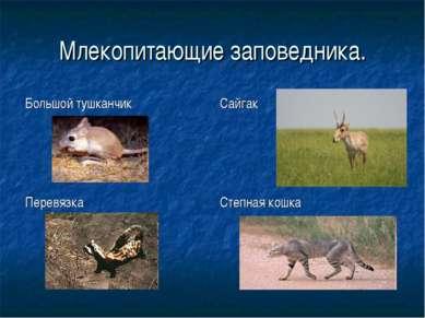 Млекопитающие заповедника. Большой тушканчик Сайгак Перевязка Степная кошка