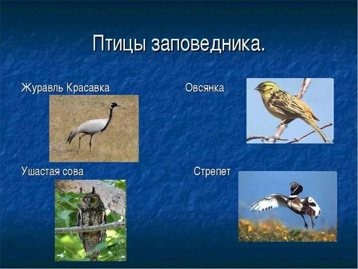 Птицы заповедника. Журавль Красавка Овсянка Ушастая сова Стрепет