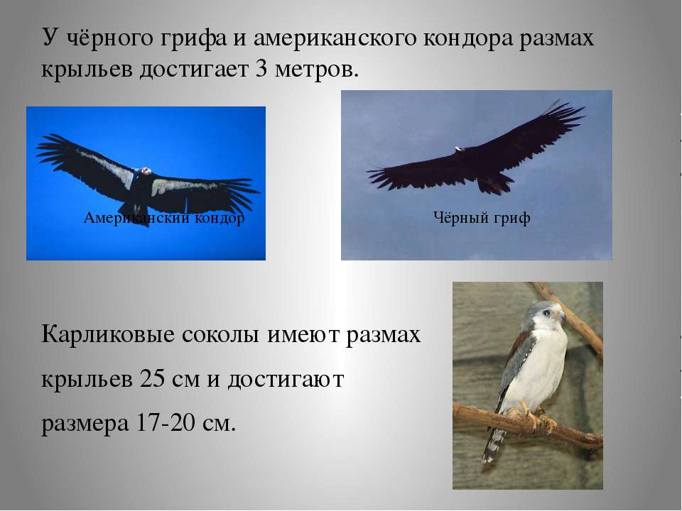 У чёрного грифа и американского кондора размах крыльев достигает 3 метров. Ка...