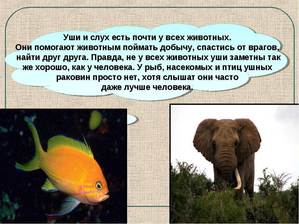 Уши и слух есть почти у всех животных. Они помогают животным поймать добычу, ...