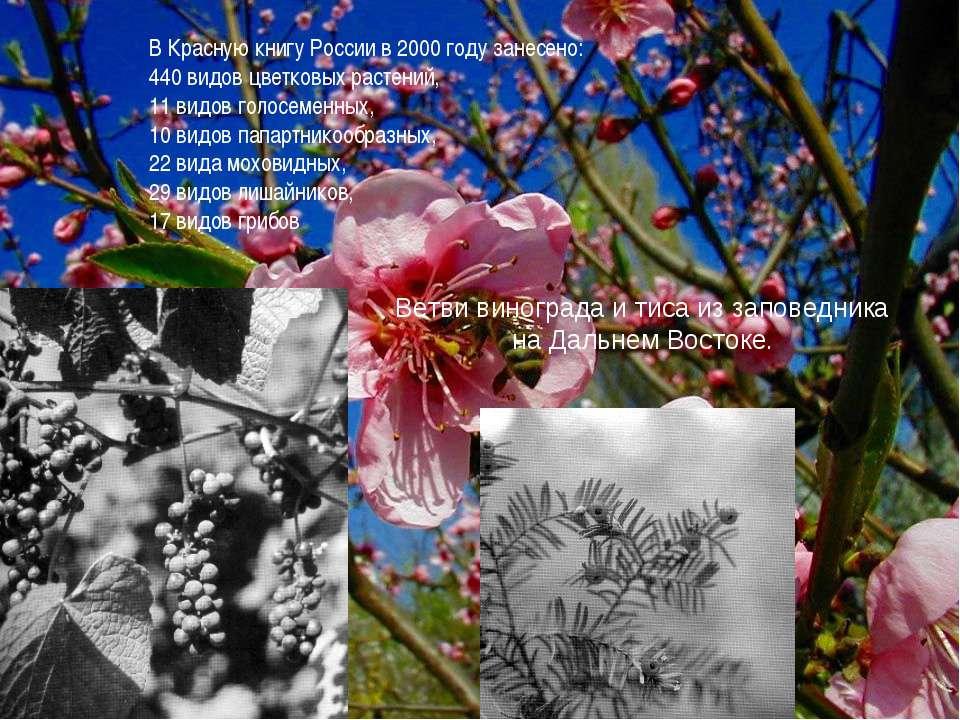 Ветви винограда и тиса из заповедника на Дальнем Востоке. В Красную книгу Рос...