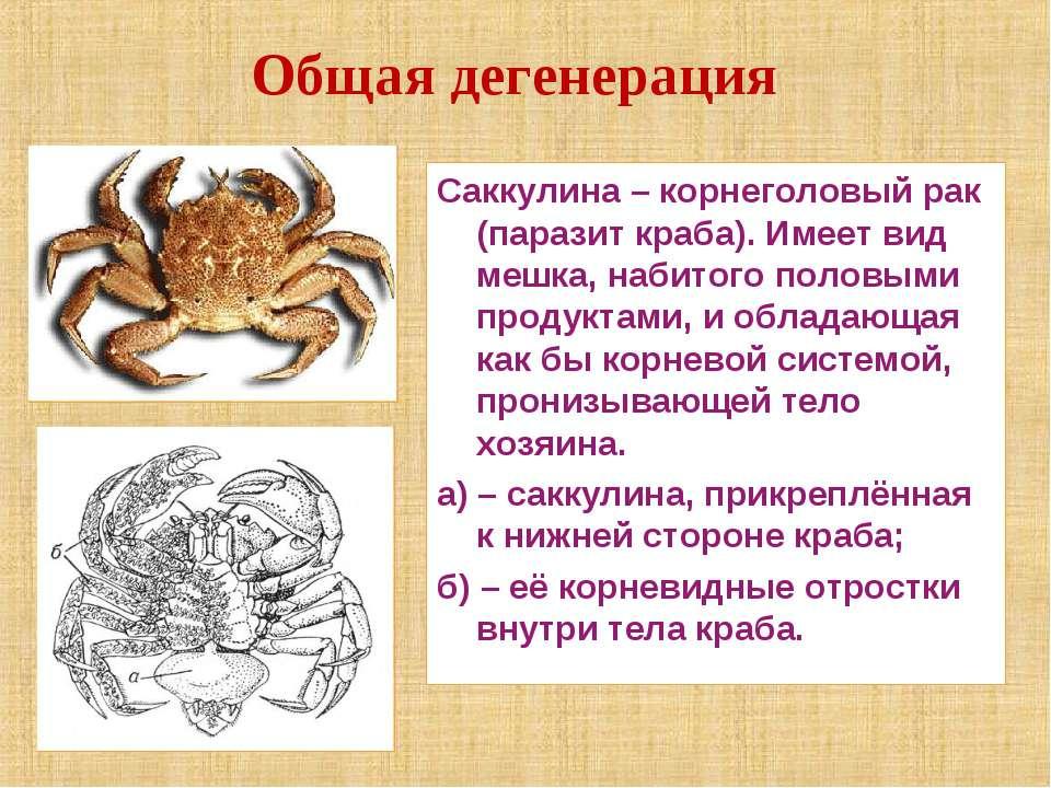 Саккулина – корнеголовый рак (паразит краба). Имеет вид мешка, набитого полов...