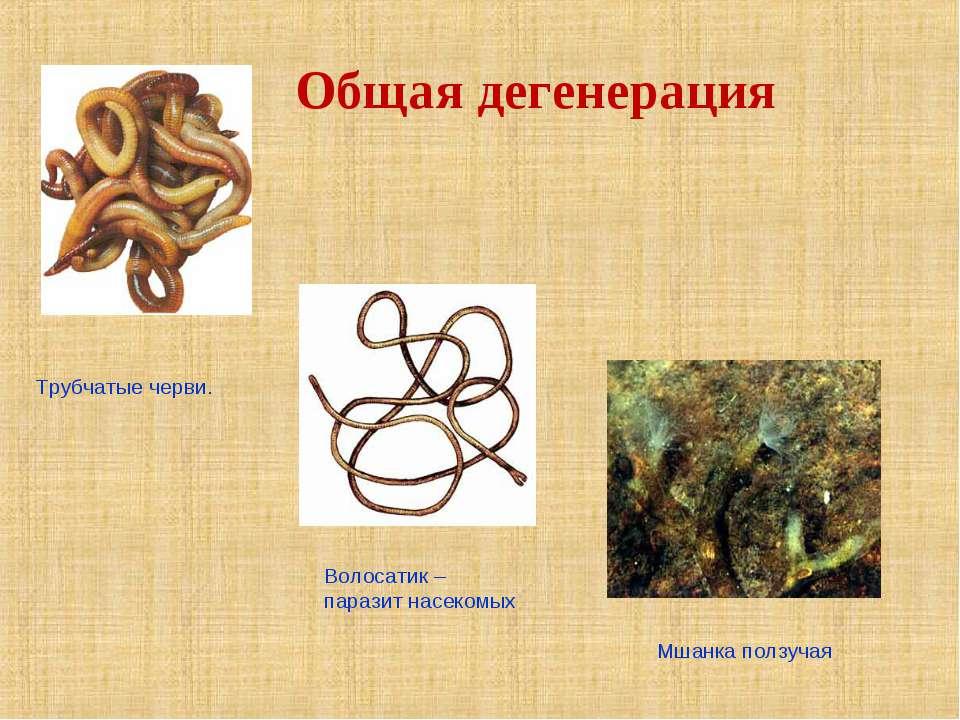Трубчатые черви. Волосатик – паразит насекомых Мшанка ползучая Общая дегенерация