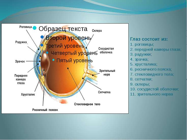 Глаз состоит из: 1. роговицы; 2. передней камеры глаза; 3. радужки; 4. зрачка...