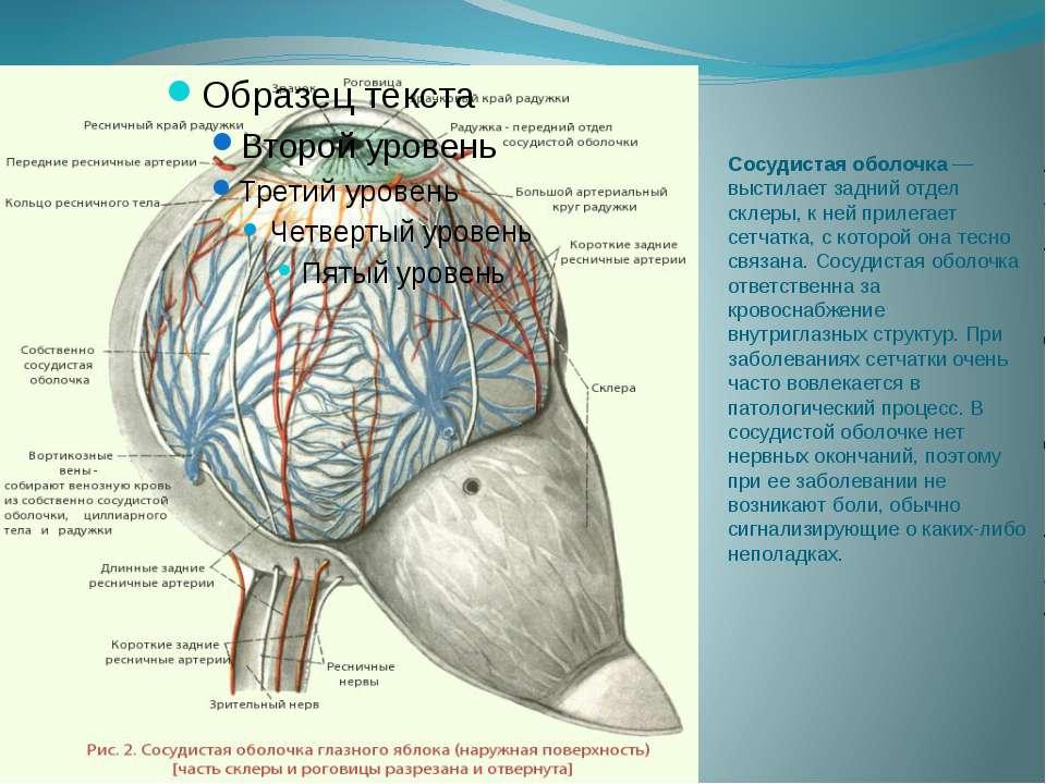 Сосудистая оболочка — выстилает задний отдел склеры, к ней прилегает сетчатка...
