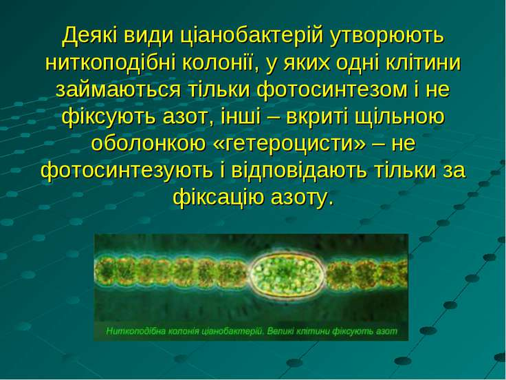 Деякі види ціанобактерій утворюють ниткоподібні колонії, у яких одні клітини ...