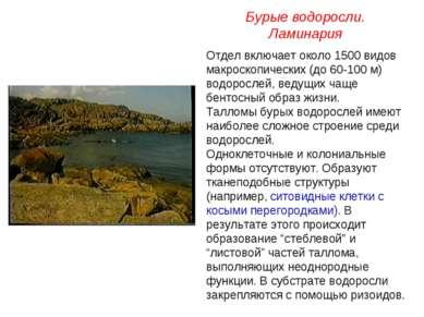 Отдел включает около 1500 видов макроскопических (до 60-100 м) водорослей, ве...