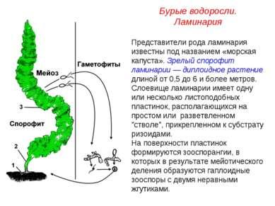 Представители рода ламинария известны под названием «морская капуста». Зрелый...