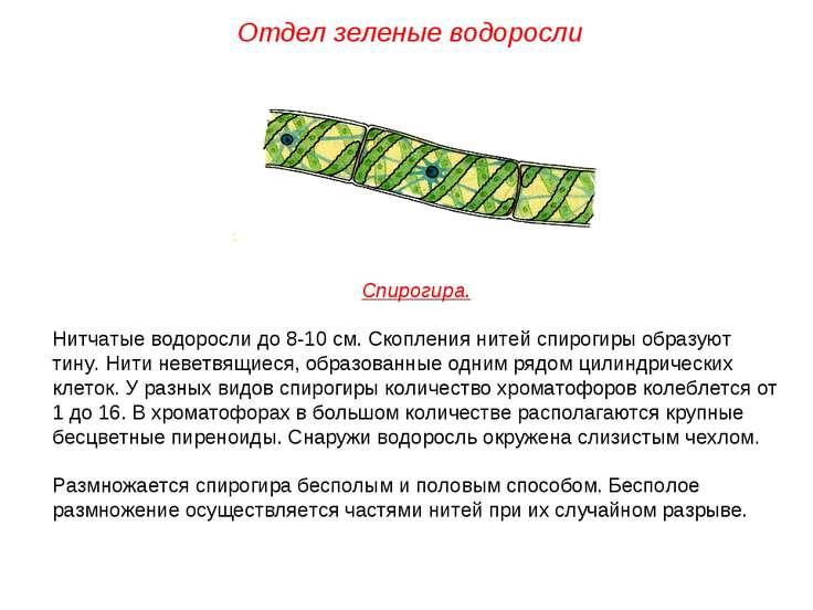 Спирогира. Нитчатые водоросли до 8-10 см. Скопления нитей спирогиры образуют ...