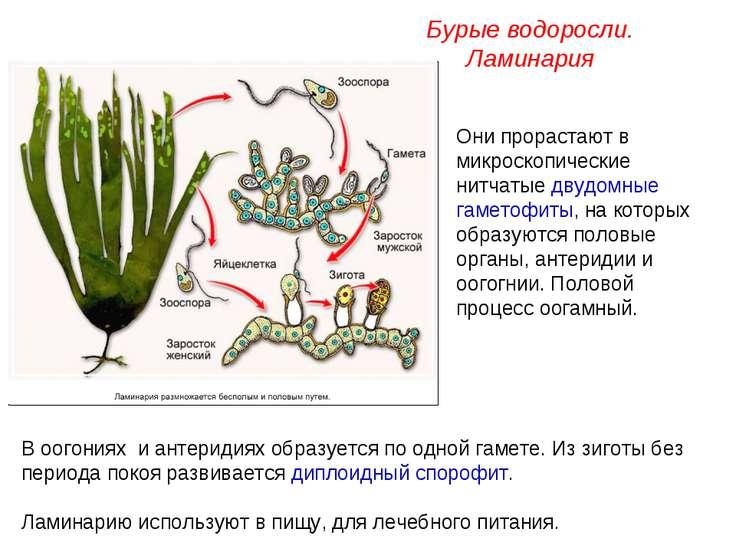 Они прорастают в микроскопические нитчатые двудомные гаметофиты, на которых о...