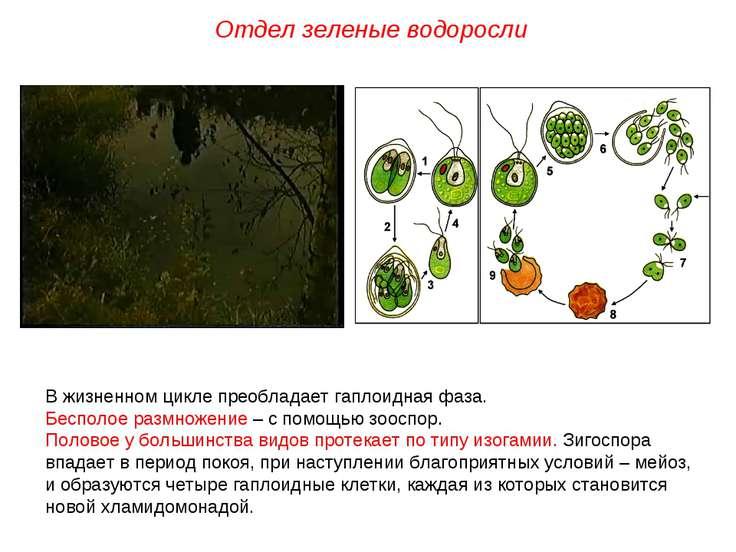 В жизненном цикле преобладает гаплоидная фаза. Бесполое размножение – с помощ...