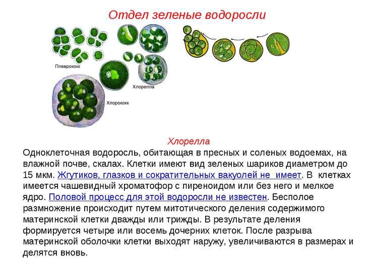 Хлорелла Одноклеточная водоросль, обитающая в пресных и соленых водоемах, на ...