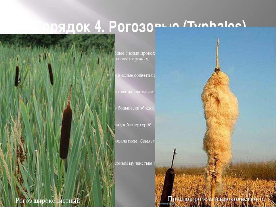 Порядок 4. Рогозовые (Typhales) Стоит очень близко к пандановым и имеет общее...